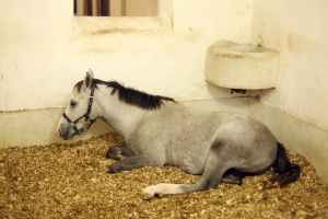 Arabian horse in the stable