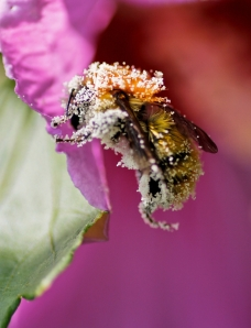 bee pollen plated