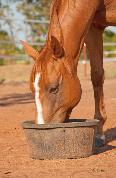 Chestnut horse with a blaze eating his dinner in a black rubber feeder
