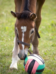 Foal with ball