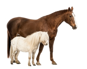 Equine Nutrition Nerd_Horse and Shetland standing next to each other in front of white background