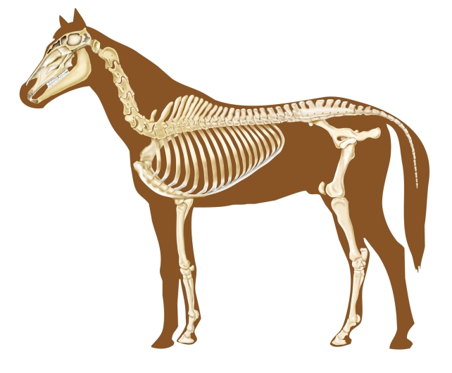 horse skeleton section