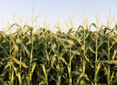 HappyHorse HealthyPlanet_Corn Field