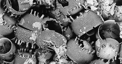 Diatomaceous-Earth-Diatoms-Progessive Gardens