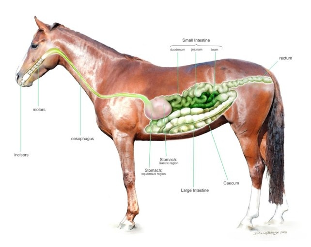The Equine Digestive System The Equine Nutrition Nerd