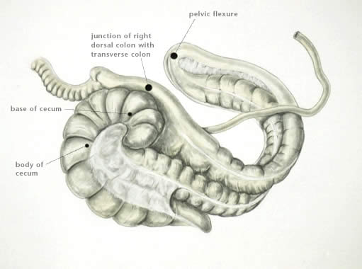 The Equine Digestive System | The Equine Nutrition Nerd