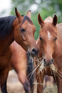 Happy Horse Healthy Planet _Horse_Hay