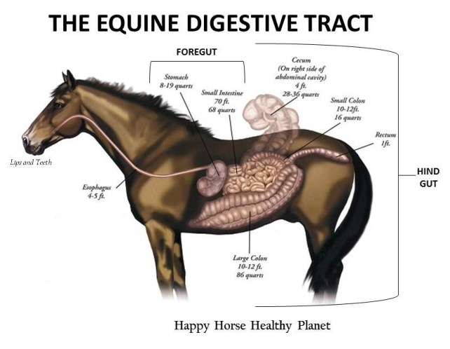 HappyHorseHealthyPlanet_The Equine Digestive Tract