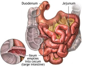 Small_intestine