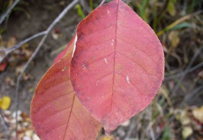 6-choke-cherry-fall-leaf-colour-2