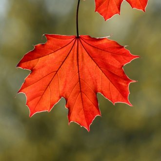 red-maple-leaf