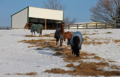 horses-eating-hay-in-snow-with-run-in